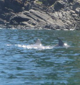 Dolphins near Rapid Bay